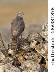 Small photo of Two years old male of Northern goshawk. Accipiter gentilis
