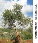 olive trees plantation near...   Shutterstock . vector #586388966
