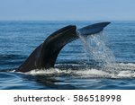 right whale  patagonia  ...   Shutterstock . vector #586518998