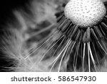 Dandelion Clock  Close Up ...