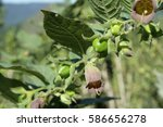 Small photo of belladonna or deadly nightshade, Atropa Belladona