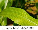 green corn field in... | Shutterstock . vector #586667438