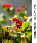 Small photo of Flowering Kalanchoe. Kalanchoe flower closeup