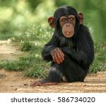 baby chimpanzee | Shutterstock . vector #586734020