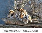 Sweet Dreams Of Siberian Tiger...