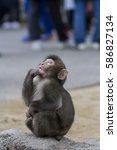 Small photo of Monkey sitting alone on a rock alone staring and pulling on his lips