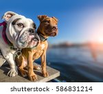 Two Dogs Standing On Wooden...