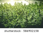 background of thick cannabis... | Shutterstock . vector #586902158