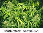 vibrant green cannabis plants... | Shutterstock . vector #586903664