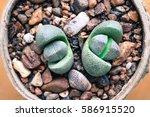 Pot Of Succulents  Living Stones