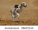 Whippet dog at full speed during a race - stock photo