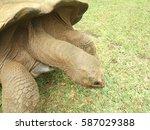 An Aldabran Tortoise Grazing.