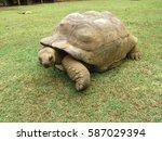 An Aldabran Tortoise On The...