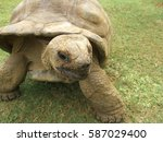 An Aldabran Tortoise Seen From...