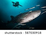 Whale Shark Near Koh Tao Island