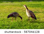 Geese Walking On Grass And...