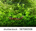 Small photo of Loach selective focus image. Cypriniformes is an order of ray-finned fish, including the carps, minnows, loaches and relatives. They are most diverse in southeastern Asia.