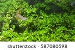 Small photo of Caridina multidentata (or Caridina Japonica) selective focus image. It is a species of shrimp native to Japan and Taiwan. Its common names include Yamato shrimp, Amano's shrimp, and algae shrimp.