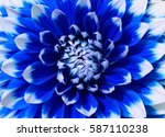 close of blue and white dahlia... | Shutterstock . vector #587110238