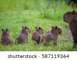 mother capybara with young in...   Shutterstock . vector #587119364