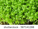 garden cress  young plants ... | Shutterstock . vector #587141288