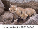 """tug of war""   two red fox kits ... 