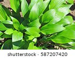 green hosta guacomole plant in... | Shutterstock . vector #587207420