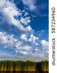 reed in danube delta  romania. | Shutterstock . vector #587234960