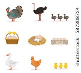 farm birds grown for meat and... | Shutterstock .eps vector #587308724