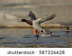 mallard duck flying   Shutterstock . vector #587326628