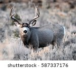 Small photo of MULE DEER/BIG BUCK/MULE DEER
