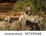 desert bighorn sheep young lamb ...
