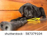 a black lab puppy plays with... | Shutterstock . vector #587379104