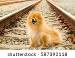 Stock photo lovely furry brown color pomeranian dog 587392118