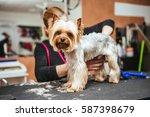 grooming yorkshire terrier...   Shutterstock . vector #587398679
