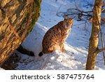 eurasian lynx  lynx lynx ...   Shutterstock . vector #587475764