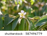 delicate calabura flower on...   Shutterstock . vector #587496779