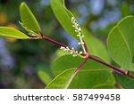 red mangrove flowers