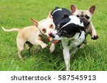 Stock photo french bulldog running with a ball 587545913