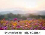 Beautiful Cosmos Flowers In...