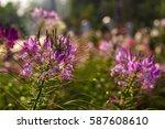 amazing nature view of pink... | Shutterstock . vector #587608610