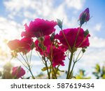 Stock photo pink rose flowers on the rose bush in garden at the morning with clear blue sky background in 587619434