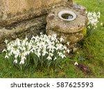 Snowdrops  Galanthus  Around A...