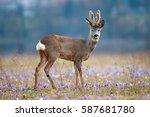roe deer in a field full of... | Shutterstock . vector #587681780