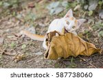 Stock photo cat playing with dry leaf 587738060