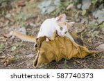 Stock photo cat playing with dry leaf 587740373
