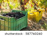 bunches of red grapes in crates ...   Shutterstock . vector #587760260