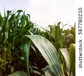 Corn Field Agriculture. Green...