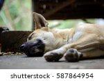 Thai Dog Sleeping Outdoors.