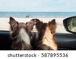 Stock photo two happy chi hua hua dog in a car looking to the sea or the beach from the car s window on 587895536